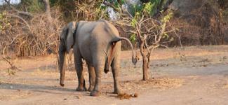 Elephant Zambia