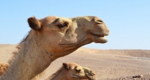 Camels in the Middle east