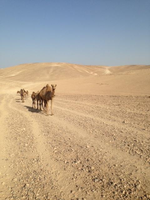 camels judean desert palestine