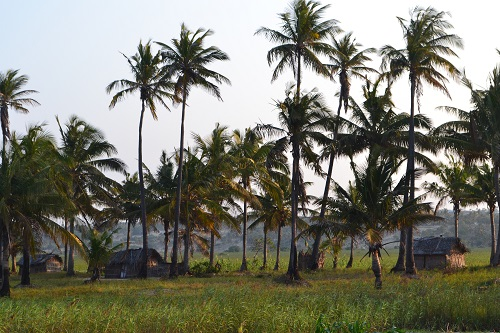 Palm trees and huts at Tofo Beach