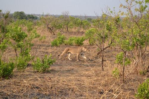 Zambia Safari Lion