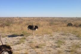 ostrich maun botswana