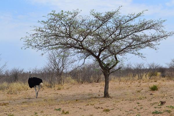 ostrich outside of Maun, Botswana
