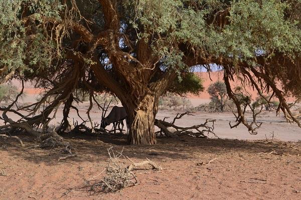 Oryx in sossuvlei Namibia