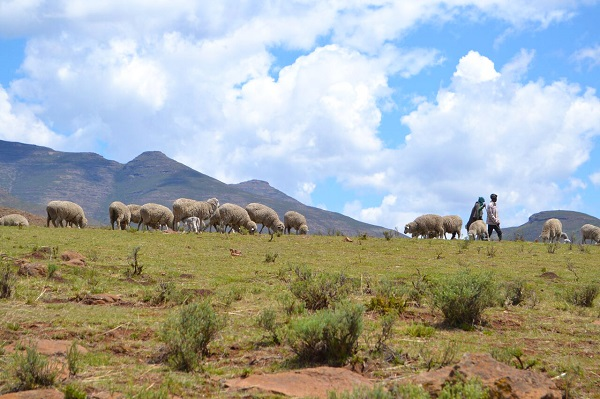 shepherd boys in lesotho