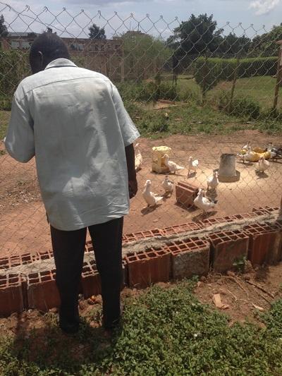 raising ducks in uganda