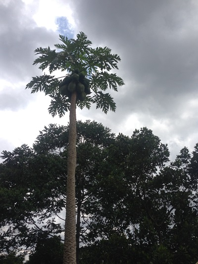 papaya tree uganda